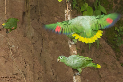 Mealy Parrot and Yellow-crowned Parrot (left) - Amazon, Ecuador