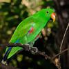 Eclectus Parrot, Australia Zoo, Beerwah, Queensland.