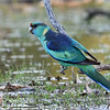Mallee ringneck parrot (Barnardius zonarius barnardi)