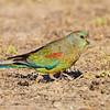 Mulga Parrot Female (Psephotus varius)