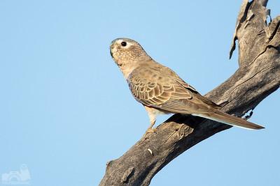 Bourkes Parrot