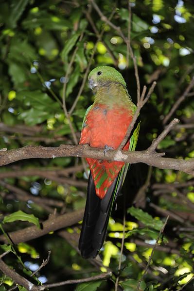 Female King Parrot<br /> Australia Zoo, Beerwah, Queensland.