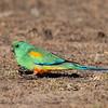 Male Mulga parrot (Psephotus varius)