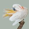 Salmon-crested Cockatoo (Cacatua moluccensis)