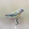 Red-rumped Parrot (Psephotus haematonotus) Female