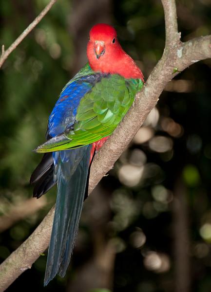 King Parrot (Alisterus scapularis) <br /> Australia Zoo, Beerwah, Queensland.