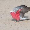 """Galah, """"Pink and Gray"""" ( Eolophus Roseicapilla )"""
