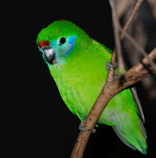 Red Browed Fig Parrot