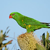 Scaly-breasted Lorikeet (Trichoglossus chlorolepidotus)