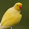 Yellow Ringneck parakeet (Psittacula krameri)