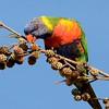 Rainbow Lorikeet, (Trichoglossus haematodus),