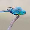 Red-rumped Parrot (Psephotus haematonotus) Male