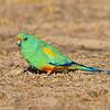 Mulga parrot Male (Psephotus varius)