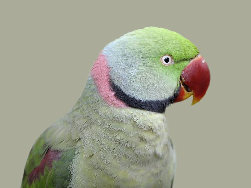 Rose ringed Parakeet,