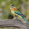 Mulga parrot (Psephotus varius)