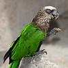 Hawk-headed Parrot