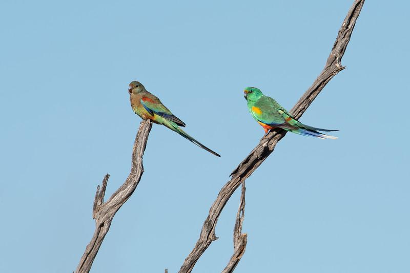 Mulga parrots (Psephotus varius)