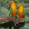 Jenday Conures