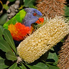 Rainbow Lorikeet (Trichoglossus haematodus),