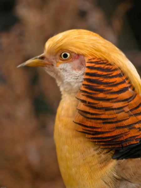 Golden Pheasant (Chrysolophus Pictus)