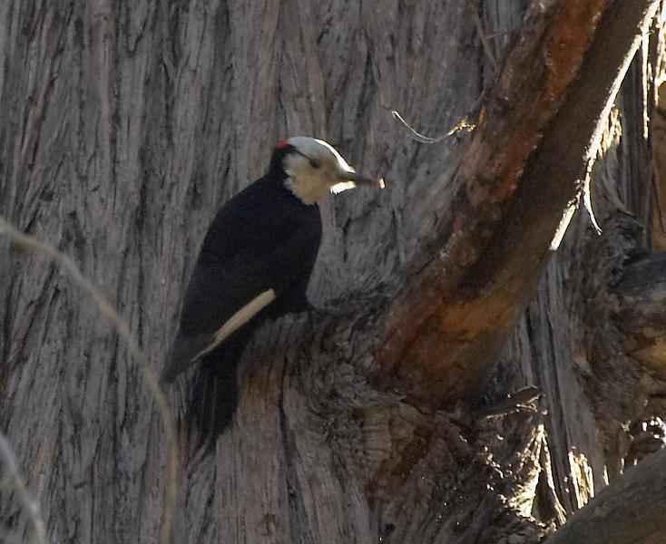 White-headed Woodpecker (Male)