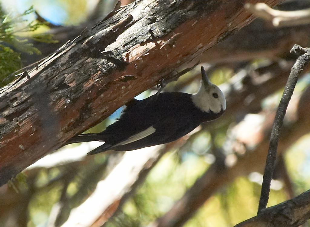 White-headed Woodpecker (Female)