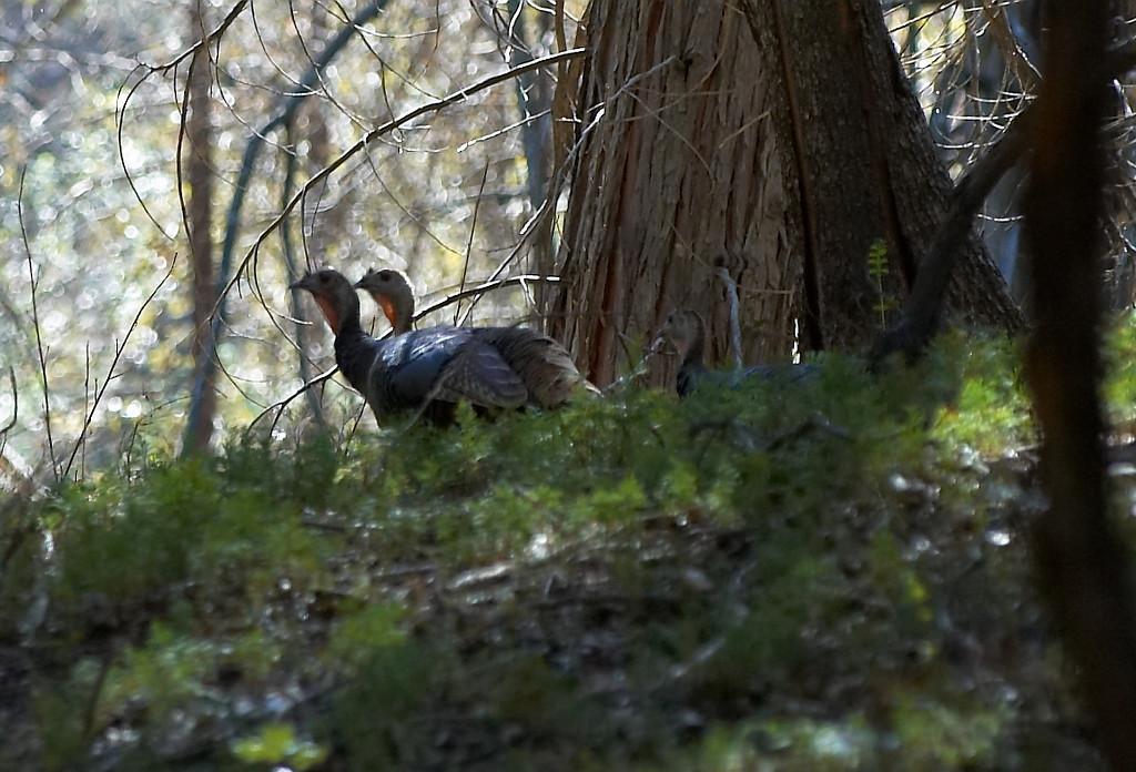 Wild Turkey's @ William Heise County Park