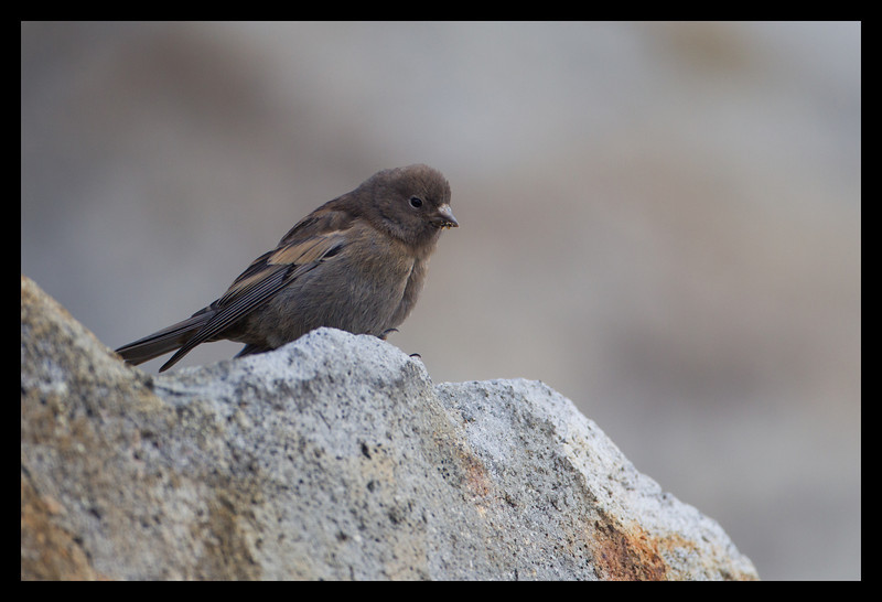 Juvenile Gray-crowned Rosy-Finch