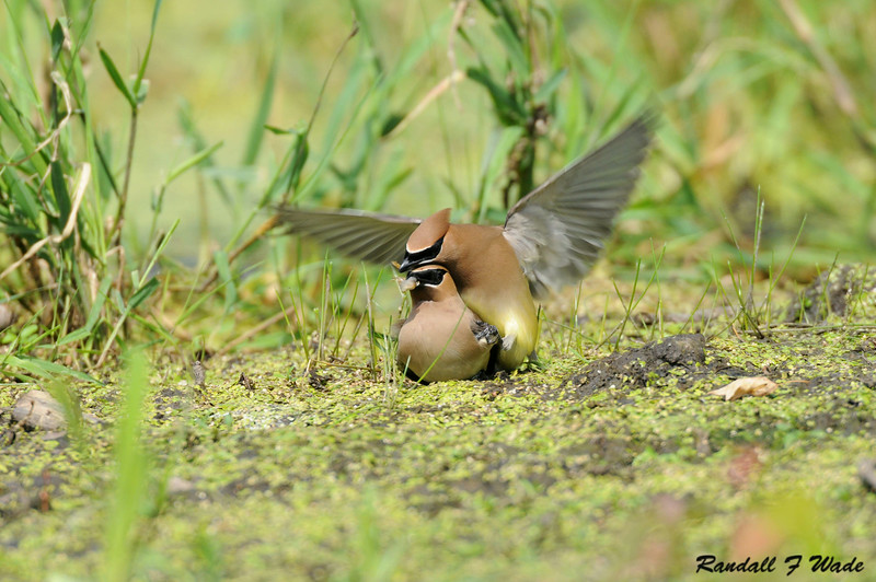 Mating Cedar Waxwings