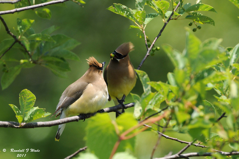 Cedar Waxwings Exchanging Berry