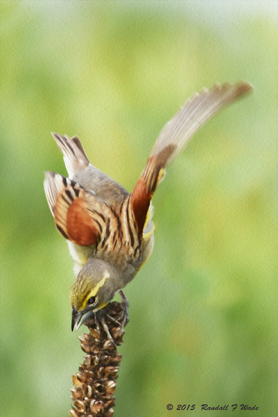 "Dickcissel ""Painting"""