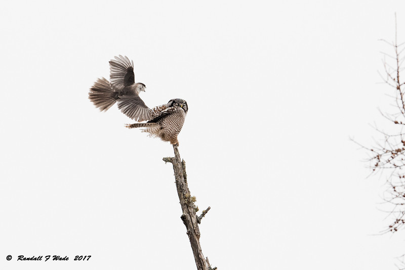 Northern Hawk Owl and Gray Jay