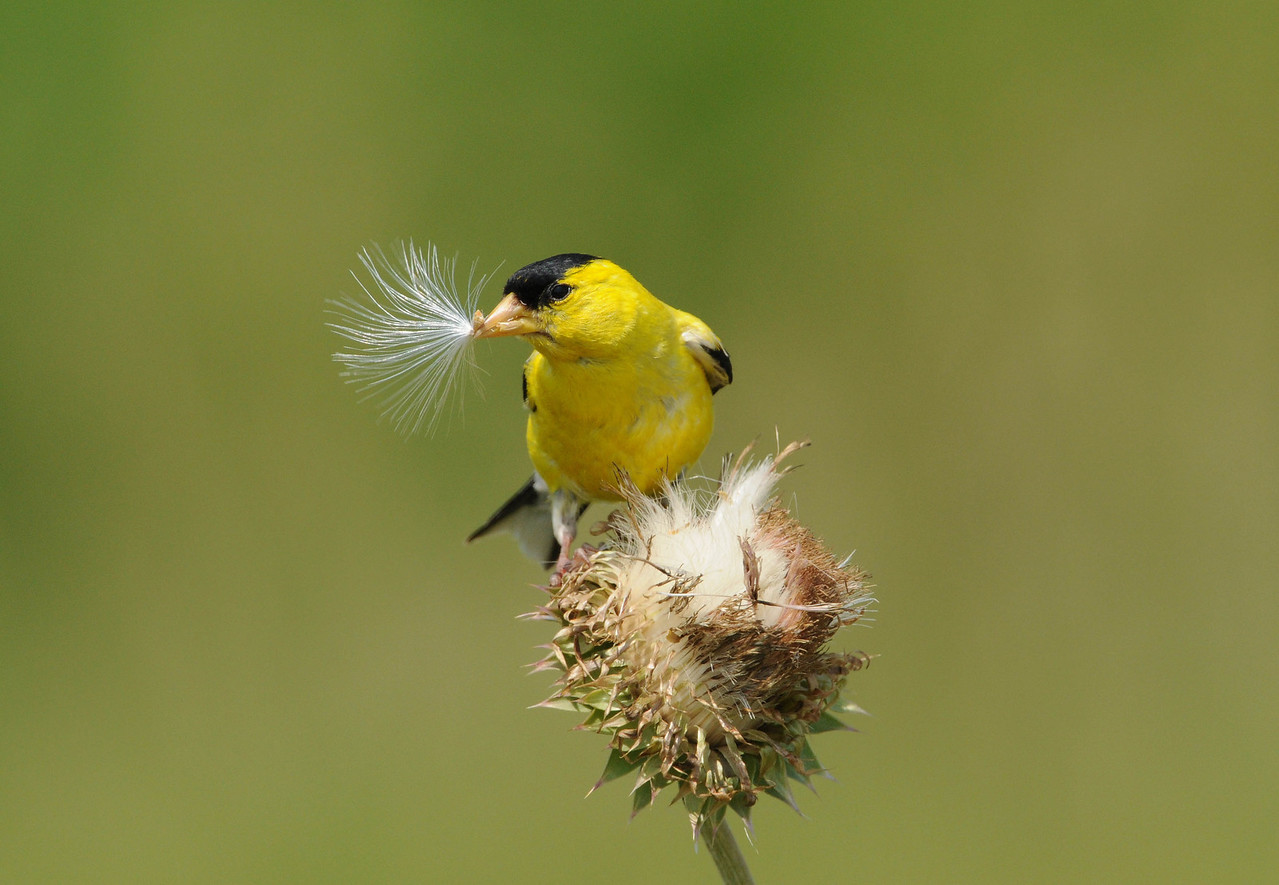 Goldfinch with Thisle Seed