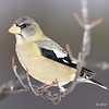 Evening Grosbeak, Female