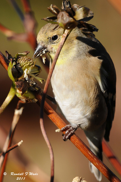 American Goldfinch and Prairie Dock