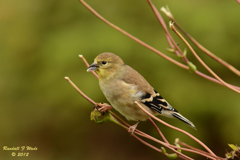 American Goldfinch on Prairie Dock