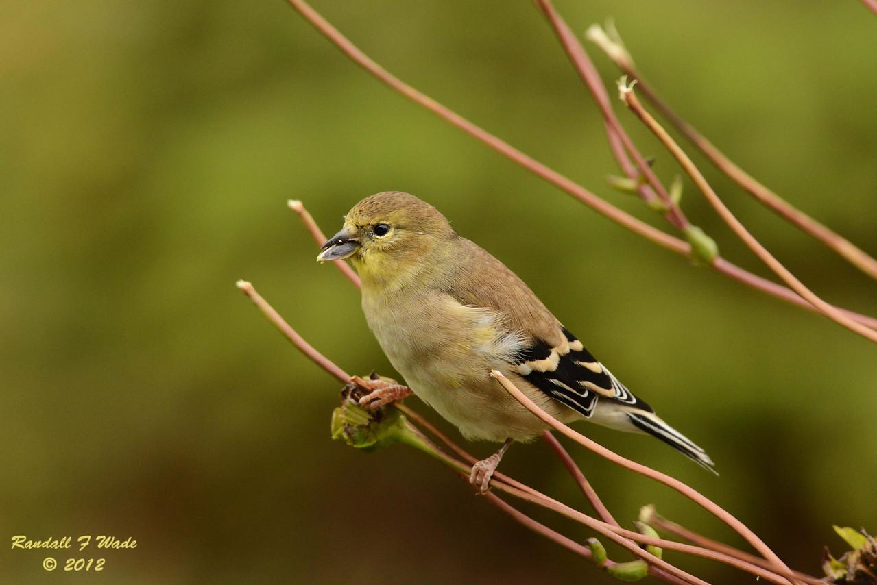American Goldfinch on Prairie Dock