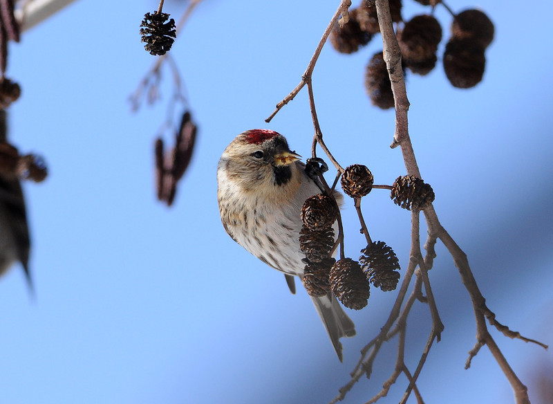 Common Redpoll and Black Alder