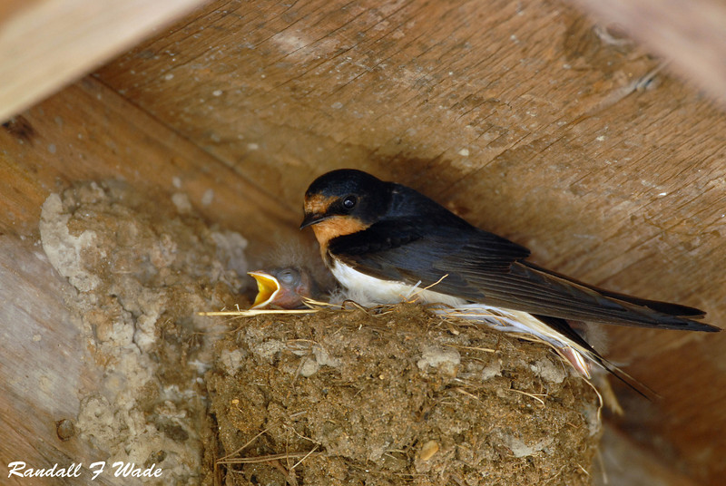 Barn Swallow, female with young