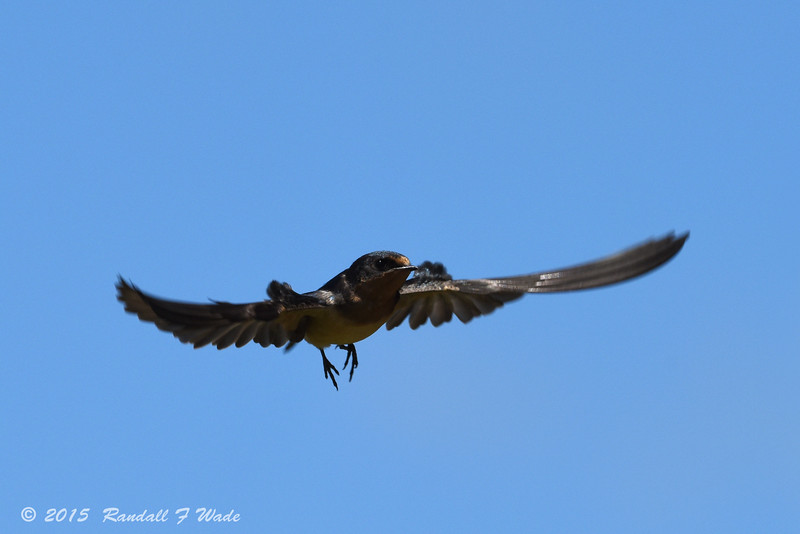 Female Barn Swallow