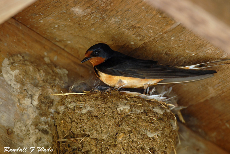 Barn Swallow, male at nest
