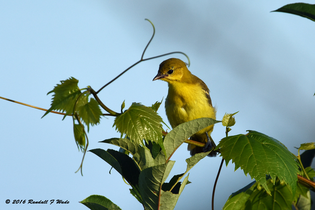 Orchard Oriole Fledgling