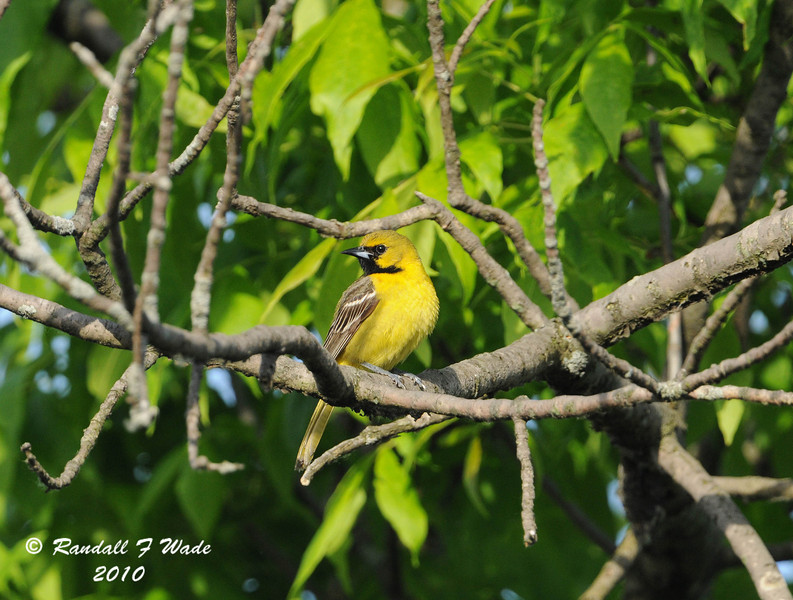 First Year Male Orchard Oriole