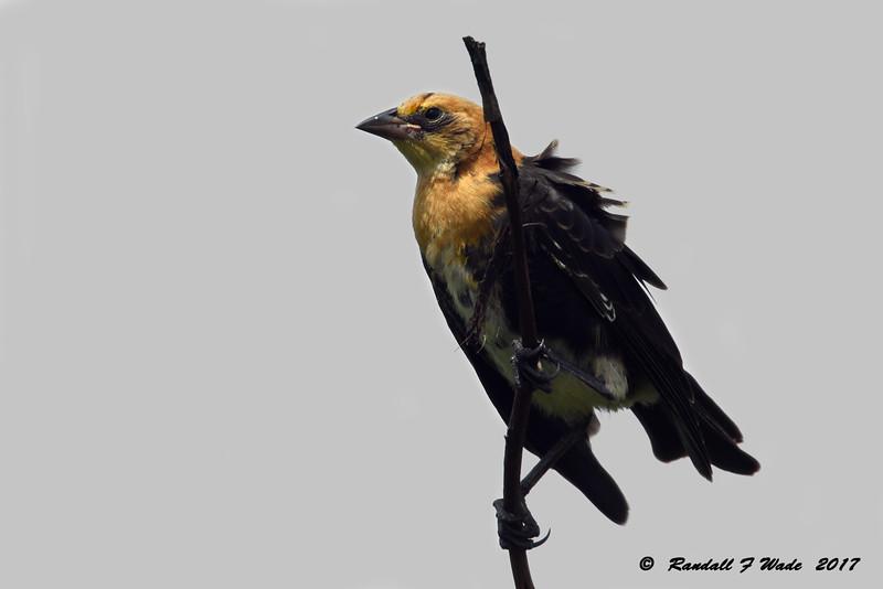 Immature Yelllow-headed Blackbird