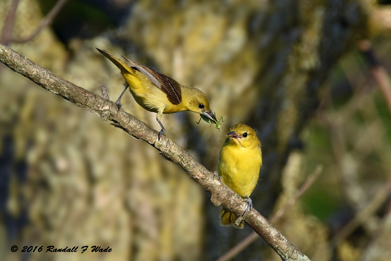 Orchard Orioles