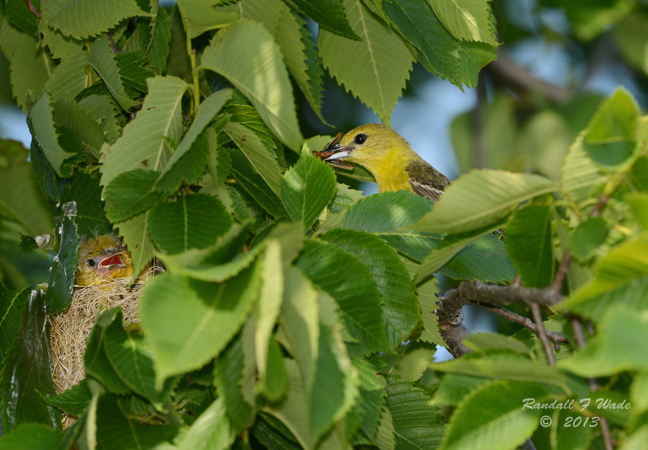 Orchard Oriole at Nest