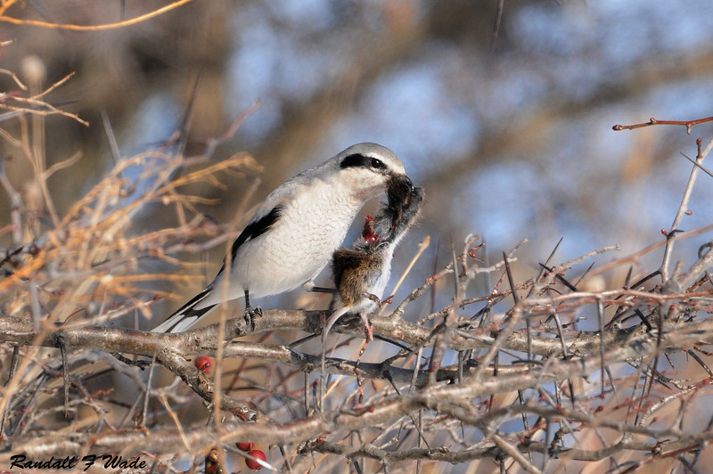 Northern Shrike and White-footed Mouse
