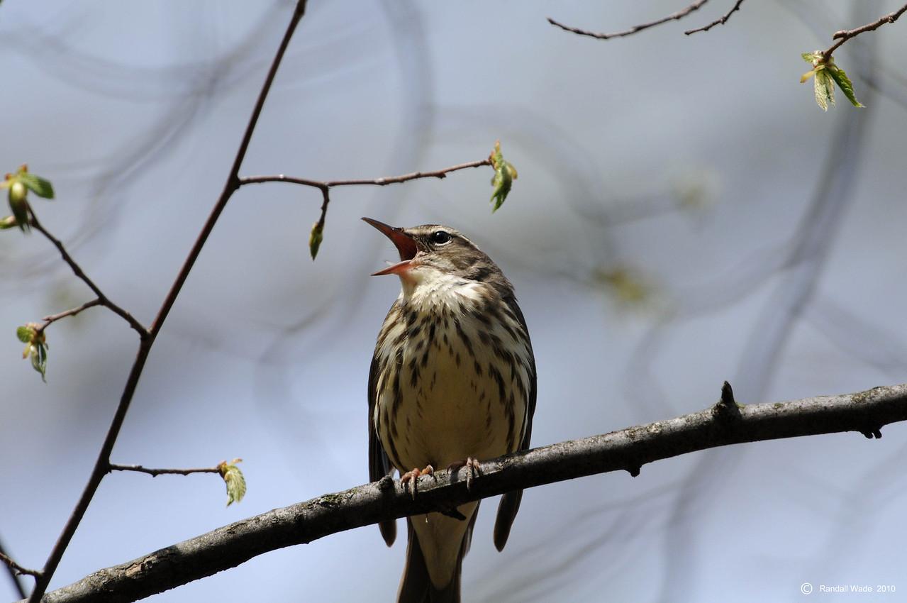 Singing Louisiana Waterthrush