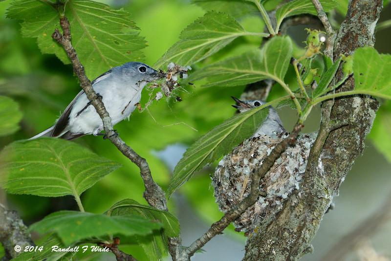 Blue Gray Gnatcatchers Nest Building