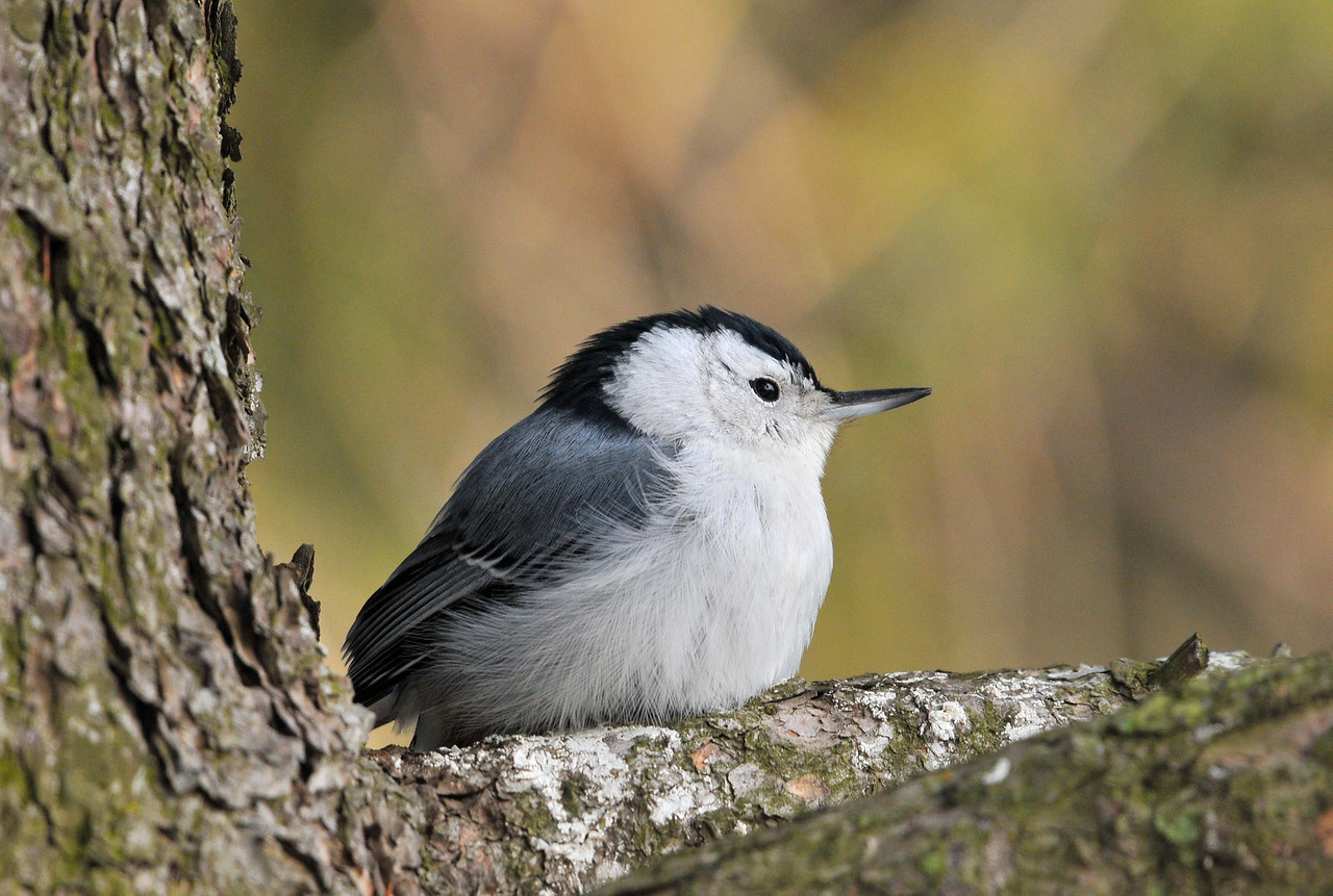 Female White Breasted Nuthatch